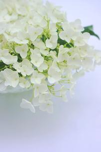 白い紫陽花の花の写真素材 [FYI00886463]