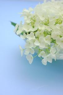 白い紫陽花の花の写真素材 [FYI00886467]