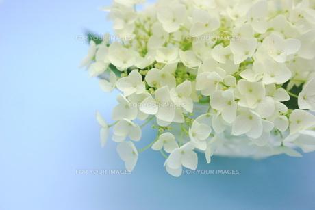 白い紫陽花の花の写真素材 [FYI00886468]