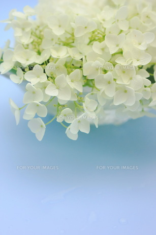 白い紫陽花の花の写真素材 [FYI00886469]