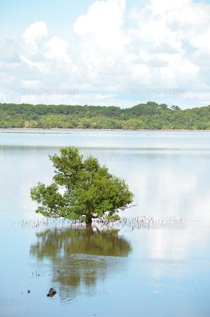 水辺に佇むマングローブの木の写真素材 [FYI00886676]
