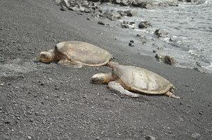 海辺を歩く海亀の親子の写真素材 [FYI00886684]