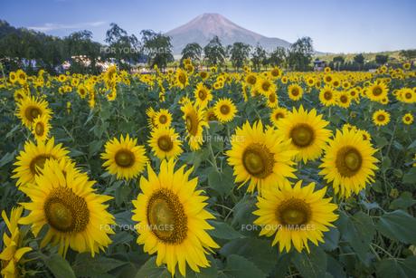 盛夏のひまわり畑の写真素材 [FYI00887199]