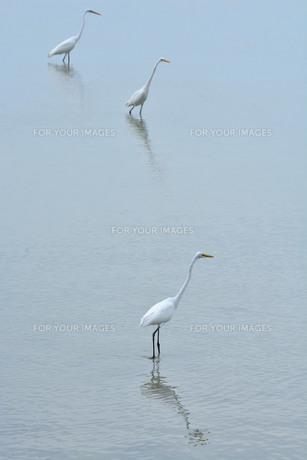 宮古島/与那覇湾の野鳥の写真素材 [FYI00887439]