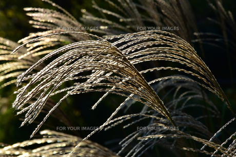 夕陽の照らす草原のススキの写真素材 [FYI00887652]