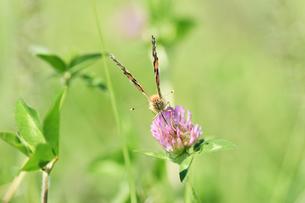 アカツメクサのタテハ蝶の写真素材 [FYI00887968]