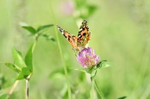 アカツメクサのタテハ蝶の写真素材 [FYI00887969]