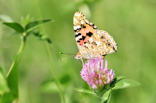 アカツメクサのタテハ蝶の写真素材 [FYI00887970]