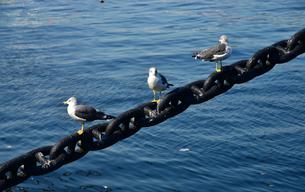 港に停泊している船の係留用の鎖に休む海鳥の写真素材 [FYI00888294]