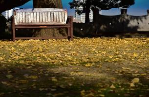 秋の公園の地面に落ちたイチョウの葉の写真素材 [FYI00888306]