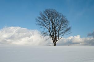 冬の青空と雪原に立つ木立の写真素材 [FYI00888583]