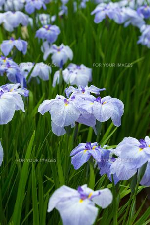花ショウブの写真素材 [FYI00888845]