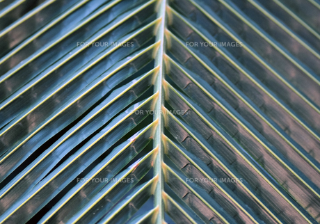 マクロで見る椰子の葉の写真素材 [FYI00889116]
