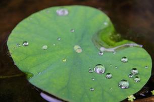 水面に浮いた水草の葉の水滴の写真素材 [FYI00889372]