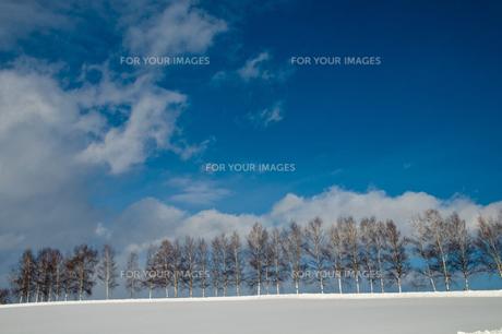 冬の青空とシラカバ林の写真素材 [FYI00889610]