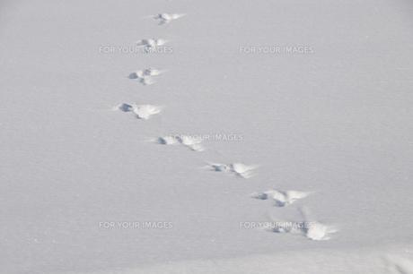 雪の上の野生動物の足跡の写真素材 [FYI00889613]