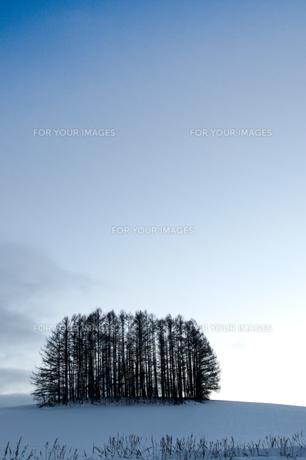 冬の丘の上のカラマツ林の写真素材 [FYI00889627]