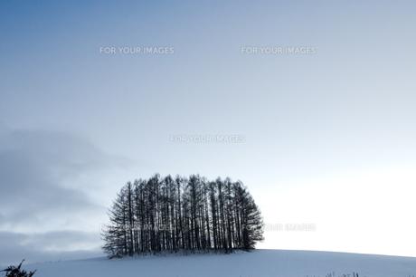 冬の丘の上のカラマツ林の写真素材 [FYI00889628]