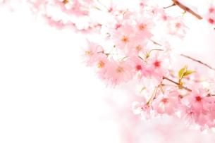 〜SAKURA〜の写真素材 [FYI00889990]