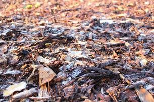 霜のおりた落ち葉の写真素材 [FYI00890161]
