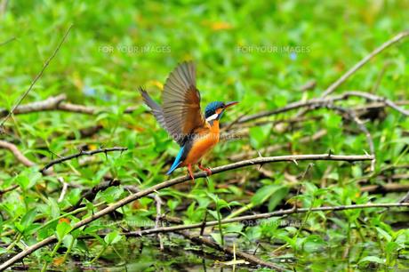 宮古島/森林の野鳥の写真素材 [FYI00890242]