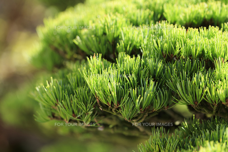 盆栽 五葉松の写真素材 [FYI00890251]