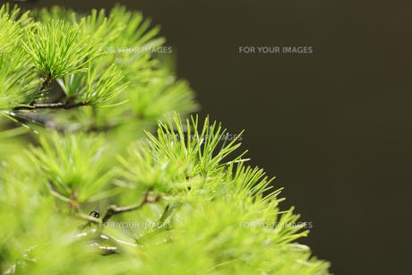 盆栽 五葉松の写真素材 [FYI00890252]
