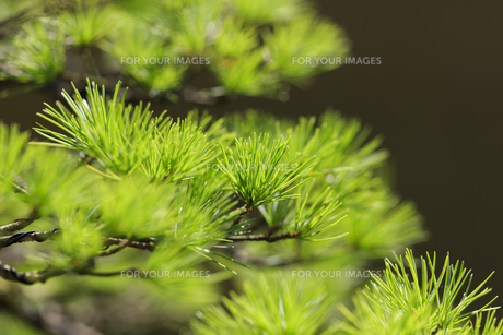 盆栽 五葉松の写真素材 [FYI00890253]