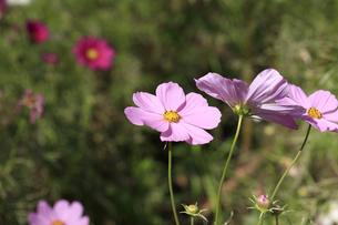 コスモス - ドワーフセンセーション ピンクの写真素材 [FYI00890256]