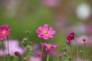 コスモス - ドワーフセンセーション ピンクの写真素材 [FYI00890269]