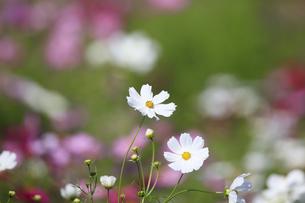コスモス - ドワーフセンセーション 白の写真素材 [FYI00890270]