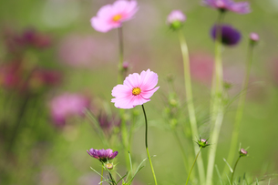 コスモス - ドワーフセンセーション ピンクの写真素材 [FYI00890273]