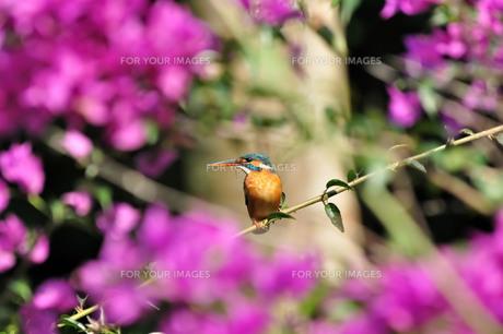 宮古島/ブーゲンビリアにカワセミの写真素材 [FYI00890278]