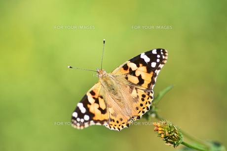 タテハ蝶の写真素材 [FYI00890290]