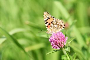 タテハ蝶の写真素材 [FYI00890291]