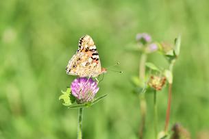 タテハ蝶の写真素材 [FYI00890292]