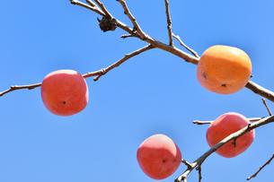 柿の実の写真素材 [FYI00890296]