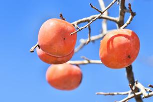 柿の実の写真素材 [FYI00890297]