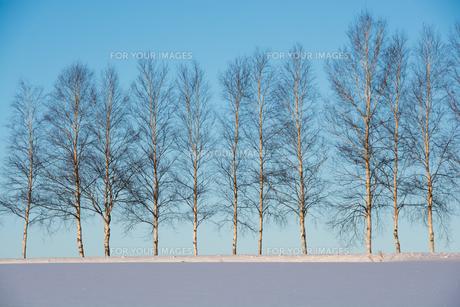冬の青空とシラカバ並木の写真素材 [FYI00890353]