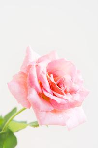 白背景のピンクのバラの写真素材 [FYI00890678]