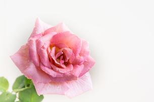白背景のピンクのバラの写真素材 [FYI00890679]