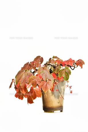 鉢植えの蔦の写真素材 [FYI00890937]