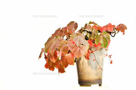 鉢植えの蔦の写真素材 [FYI00890938]