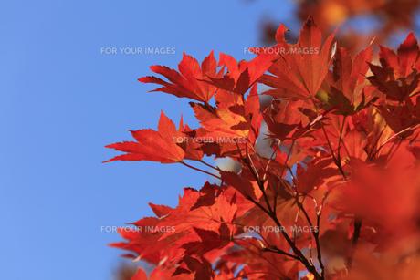 秋、東京、紅葉 - 日本の秋 の写真素材 [FYI00891578]