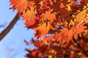 秋、東京、紅葉 - 日本の秋 の写真素材 [FYI00891579]