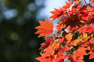 秋、東京、紅葉 - 日本の秋 の写真素材 [FYI00891581]