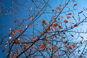 紅葉した桜の写真素材 [FYI00891601]