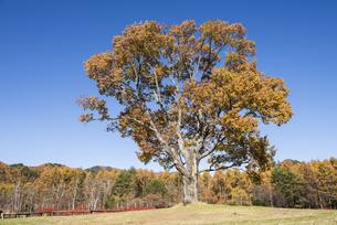 孤高のナラの木の写真素材 [FYI00891698]