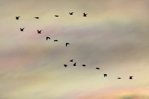 アジサシの群れの写真素材 [FYI00891779]