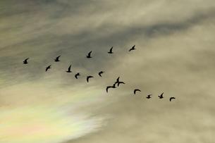 アジサシの群れの写真素材 [FYI00891781]